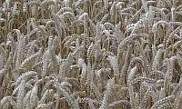 Im Spätsommer ist das Getreide reif