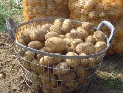 kartoffel selma